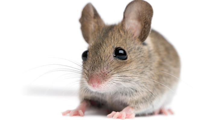 Maus in Bordküche
